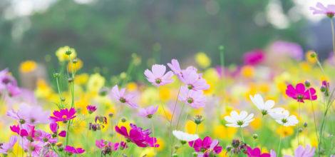 Cosmos flower field
