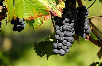 grapes-fruit-fruits-blue-winegrowing-grapevine-vines-thumbnail